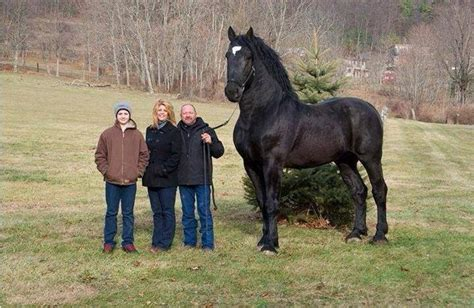 horse draft riding earth would why percheron horses largest stallion breed moose tall he ride biggest most which champion hands