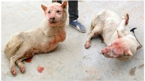 petition  chen wu stop   yulin dog meat