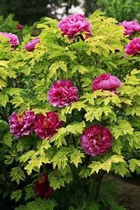 Les 25 meilleures idees de la categorie arbre japonais sur for Photos jardins et terrasses 11 pivoine planter et tailler ooreka