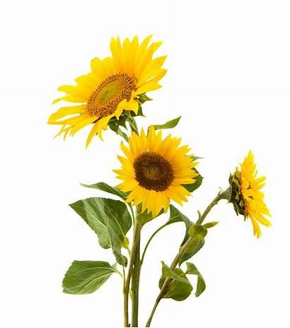 Transparent Sunflowers Clipart Sunflower Silhouette Common Girassol