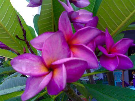 Purple Plumeria  Bing Images