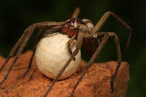 nursery spider  egg sack  macrojunkie  deviantart