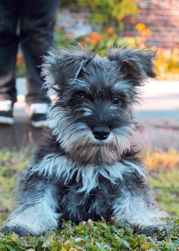 schnauzer puppy gifs find share  giphy