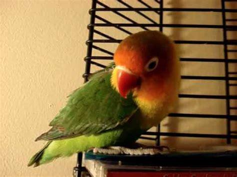 Cute Love Birds