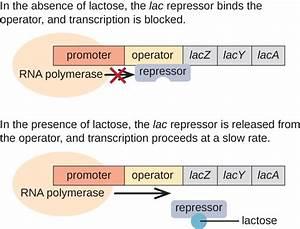 Gene Regulation  Operon Theory