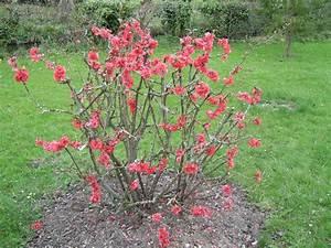 Quand Planter Un Pommier : la taille raisonn e des arbustes d 39 ornement ~ Dallasstarsshop.com Idées de Décoration