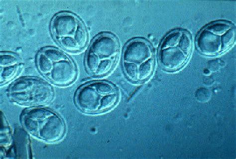myxosporotista