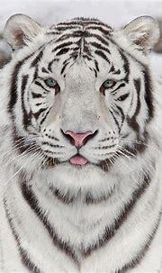 The beautiful white siberian tiger : aww