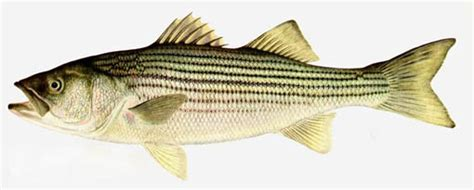 Striper Fishing Boat Names by Striped Bass Interesting Fishes Of The Gulf Of Mexico
