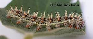 Other Defoliating Caterpillars