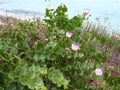 fiori capperi piante di capperi in fiori a giugno foto di spiaggia dei