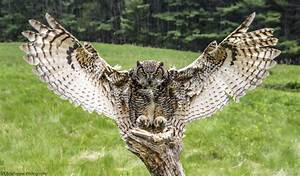 Great Horned owl - wings out heading to its perch. | Bird ...
