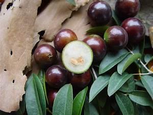 Caribfruits   Fruits Tropicaux