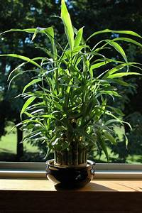 Treat Them Right  Know How To Care For Indoor Bamboo Plants