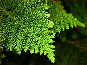 Discover Life: Trees of Virginia, United States: Pine Trees