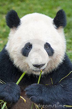 giant panda bear eating bamboo royalty  stock image