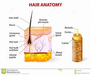 The gallery for --> Human Hair Structure Diagram