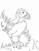 Puffin Coloring sketch template
