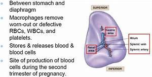 07  Lymphatics    Immune System