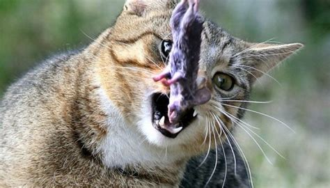 Fur Flies Over Call To Rid New Zealand Of Cats