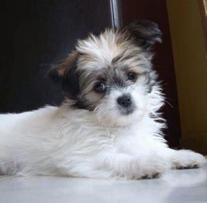 shih tzu chihuahua mix aka shichi breed info