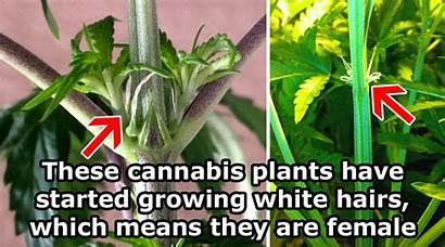 Cannabis Male Female Plant Weed Plants Marijuana