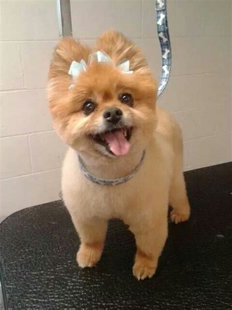 Best 25  Dog haircuts ideas on Pinterest   Dog grooming
