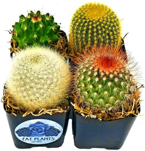 Mini Cactus Plants in Plastic Planters (4) - Fat Plants ...
