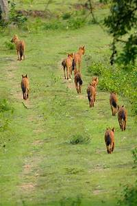 On a hunt with the endangered pack – Dhole (Wild Dog ...