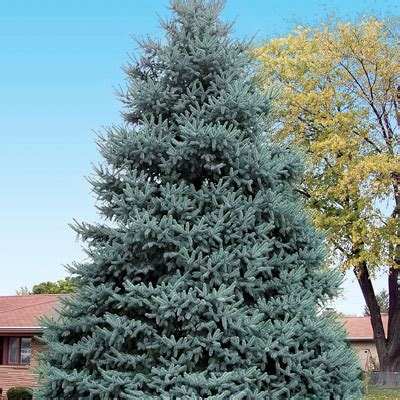 live blue spruce christmas tree characteristics picea pungens