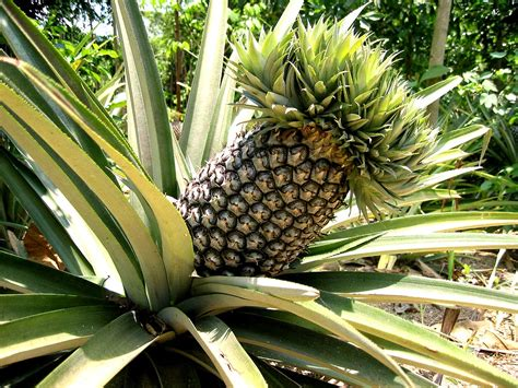 pineapple plant how to grow a pineapple from seed the garden of eaden