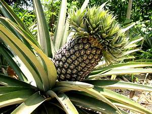 HOW TO GROW A PINEAPPLE FROM SEED  The Garden of Eaden