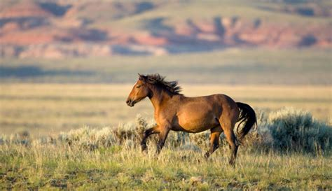 horses wild wyoming horse yellowstone wildlife southwestern park national mustangs population flaming gorge yellowstonepark southwest pretty dunes sand visit