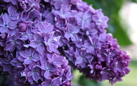 10 Beautiful Hd Lilac Wallpapers Hdwallsourcecom