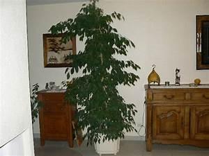 Comment Tailler Un Ficus : coupe d 39 un ficus ~ Melissatoandfro.com Idées de Décoration
