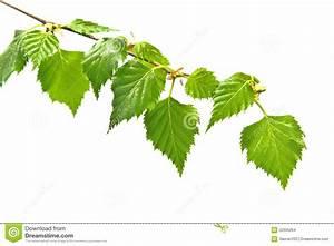 Branche De Bouleau : branche de bouleau avec des feuilles photo stock image ~ Melissatoandfro.com Idées de Décoration