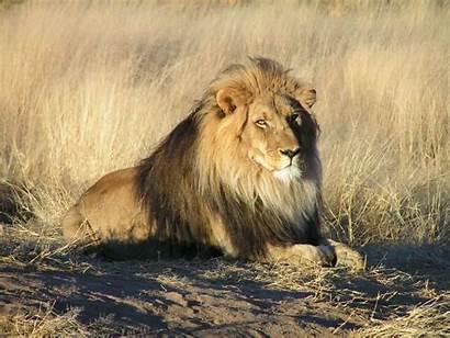 Lion Mane African Physiology Fabulas Samaniego Lions