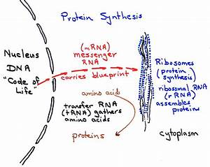 Protein Synthesis Basics