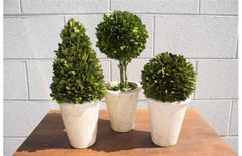 Live Preserved Boxwood Topiary Set A  Ampa Events