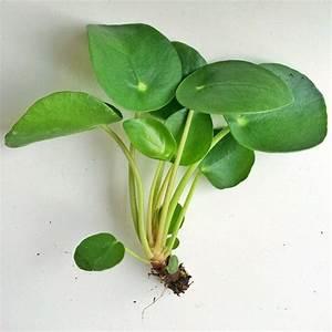 Pilea Pflanze Kaufen : 77 besten gl ckstaler pilea peperomioides bilder auf ~ Michelbontemps.com Haus und Dekorationen