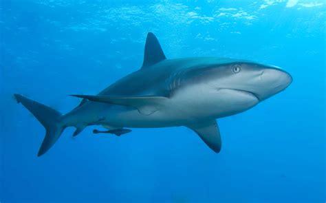 Images Of Sharks File Caribbean Reef Shark Jpg Wikimedia Commons
