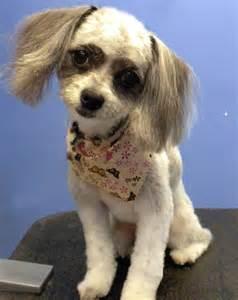 Schnauzer Poodle Mix Chihuahua