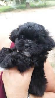 Bichon Frise Mix Shih Tzu Teddy Bear Puppies