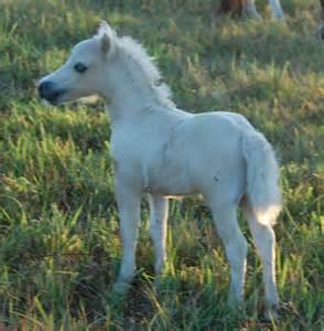 Black Baby Miniature Horses