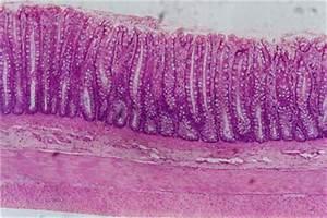 Histology-World! Histology Fact Sheet-Large Intestine
