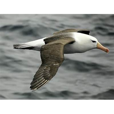 Black-Browed Albatross - Animal Facts and Information