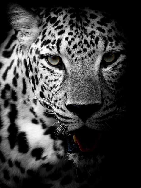 wallpaper leopard dark background hd  animals