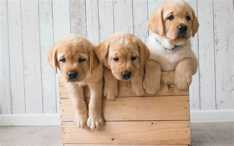 wallpaper cute puppies golden retriever hd  animals