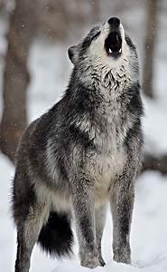 animals wolf white landscape black animal nature fox foxes ...