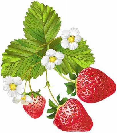 Strawberries Clipart Clip Strawberry Morango Blooming Flower